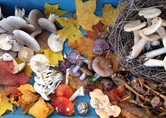 Mushrooms on Blue Platter Banner