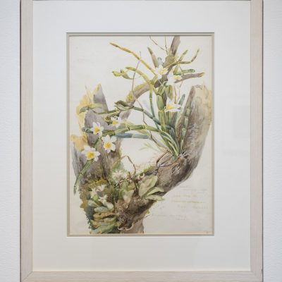 Charlotte Wheeler Cuffe (1867-1967): 'Dendrobium crepidatum & Eria concolor', 1902, Watercolour, Courtesy of the National Botanic Gardens and the Office of Public Works, Dublin, Credit: Photography Roland Paschhoff
